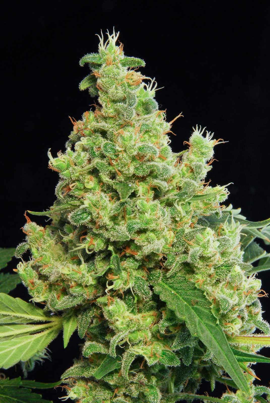 Blue Hash Buy Blue Hash Feminized Cannabis Seeds