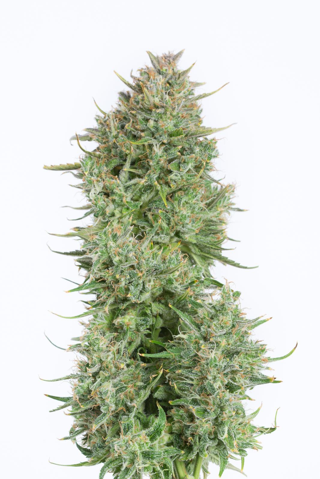 Blue Kush Autoflowering Buy Blue Kush Auto Cannabis Seeds