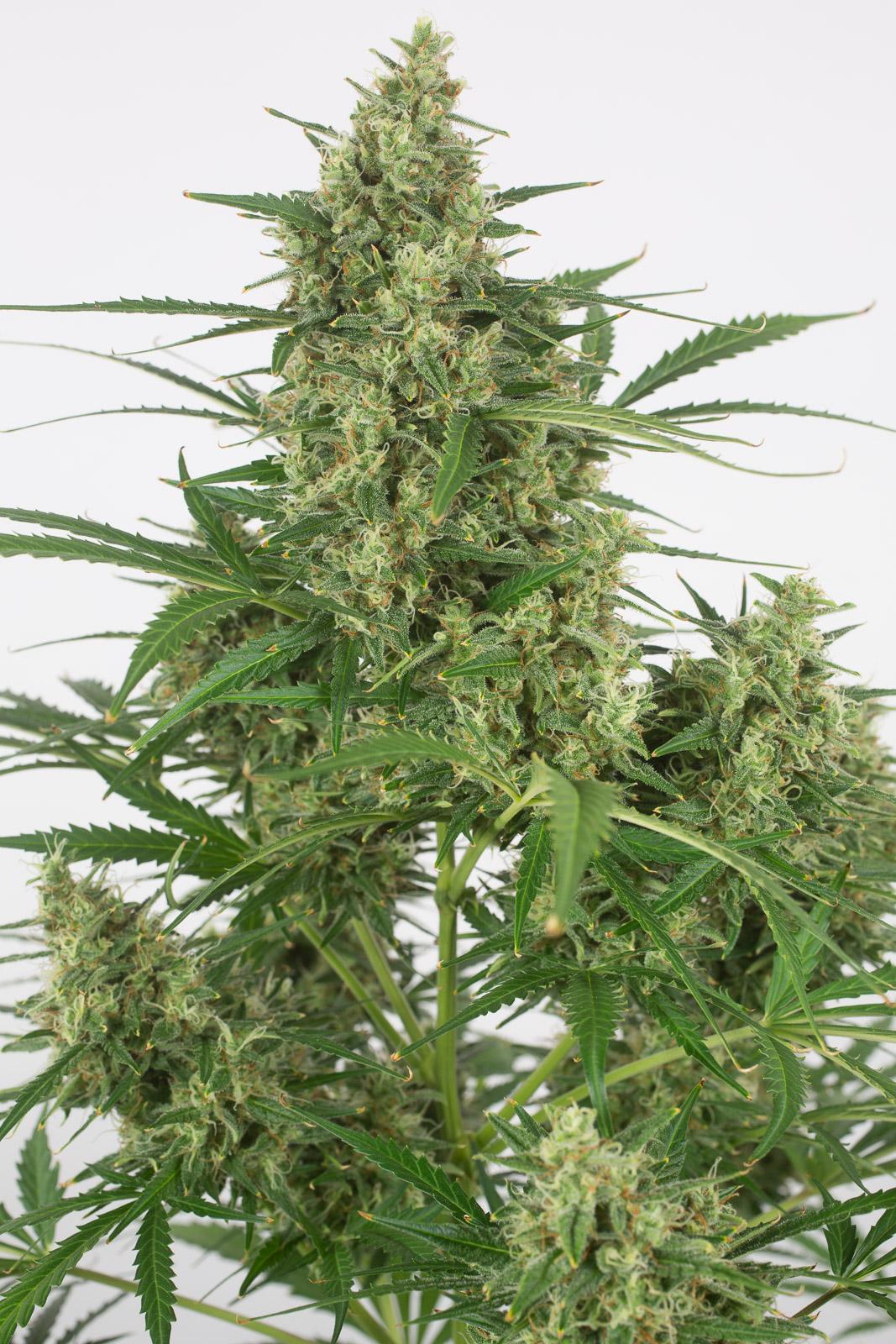 Critical + 2 0 Autoflowering – Buy Critical + 2 0 Auto cannabis seeds
