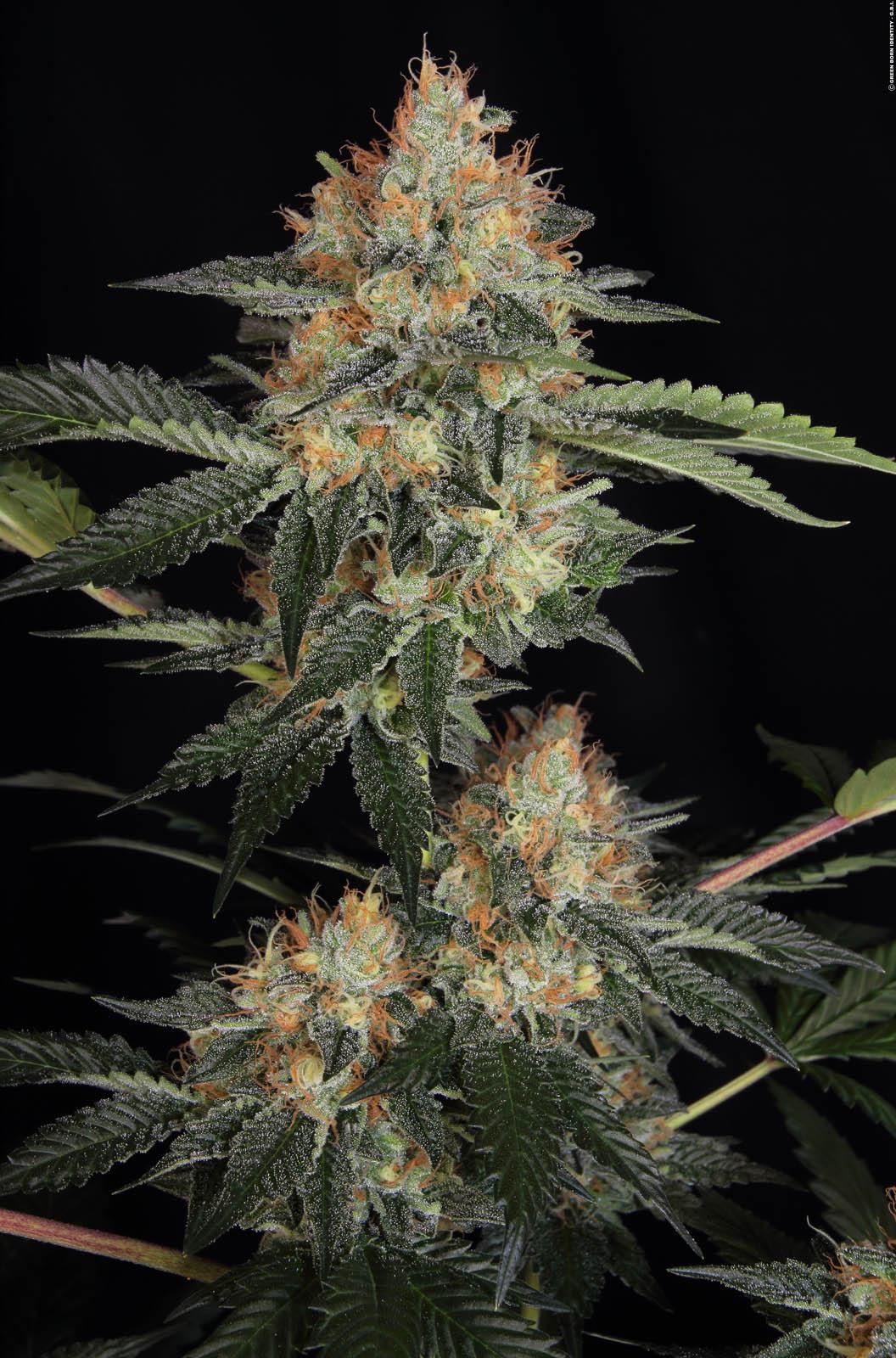 Dinachem – Buy Dinachem feminized cannabis seeds