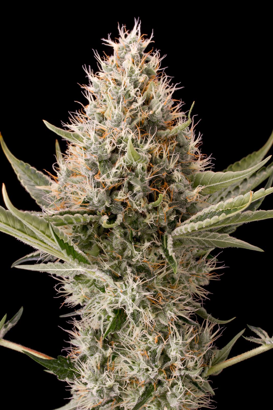 Dinamex acheter des graines de cannabis dinamex f minis es for Graine de weed exterieur
