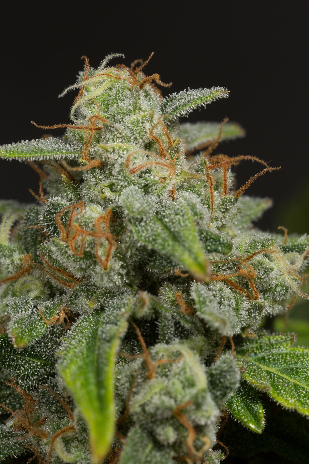 Dinamed CBD Autoflowering – Buy Dinamed CBD Auto cannabis seeds