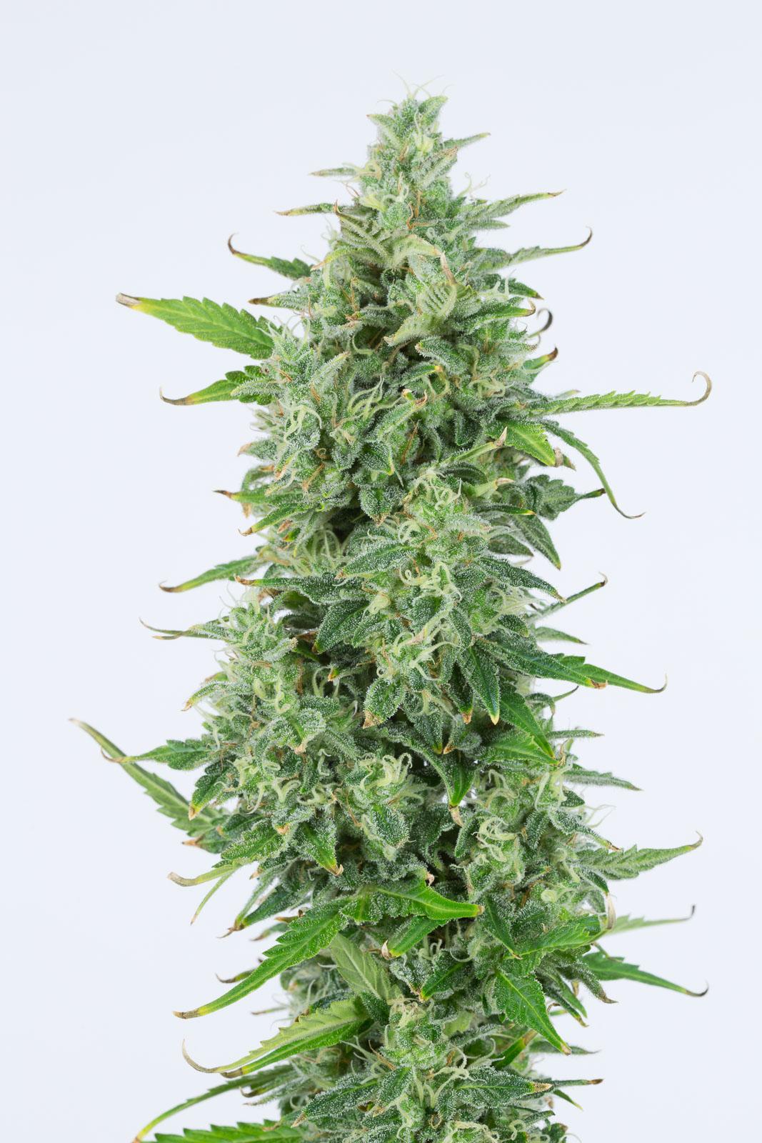 OG Kush Autoflowering – Buy OG Kush Auto cannabis seeds