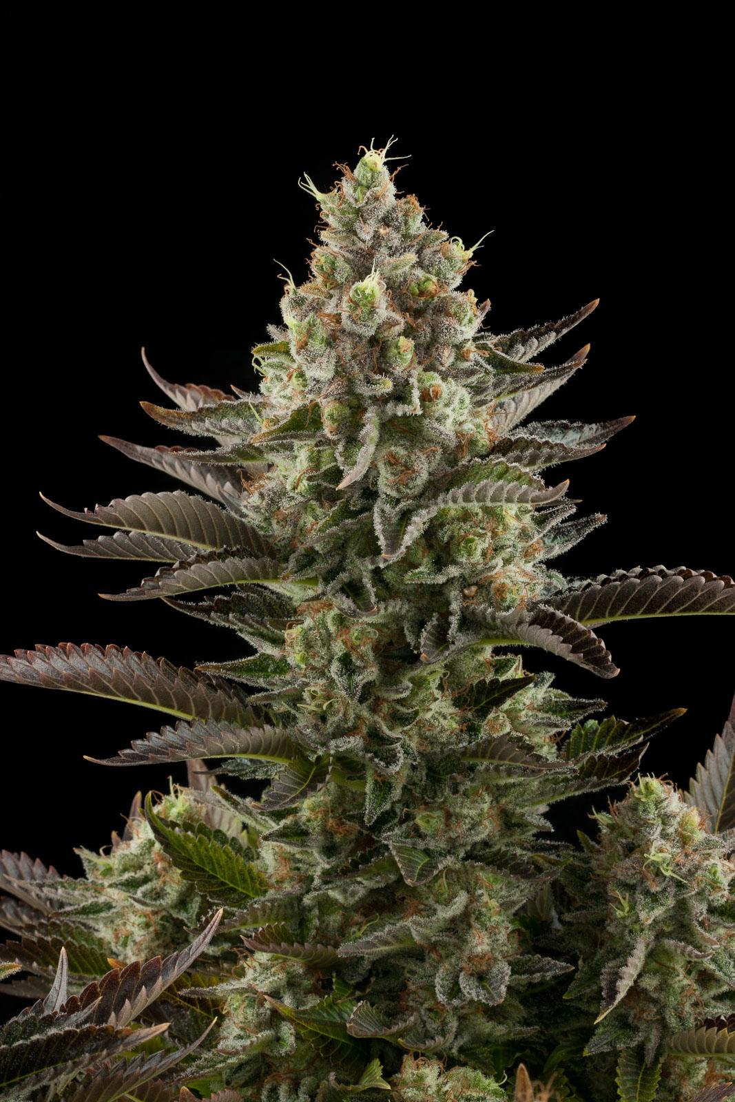 White Widow Buy White Widow Feminized Cannabis Seeds