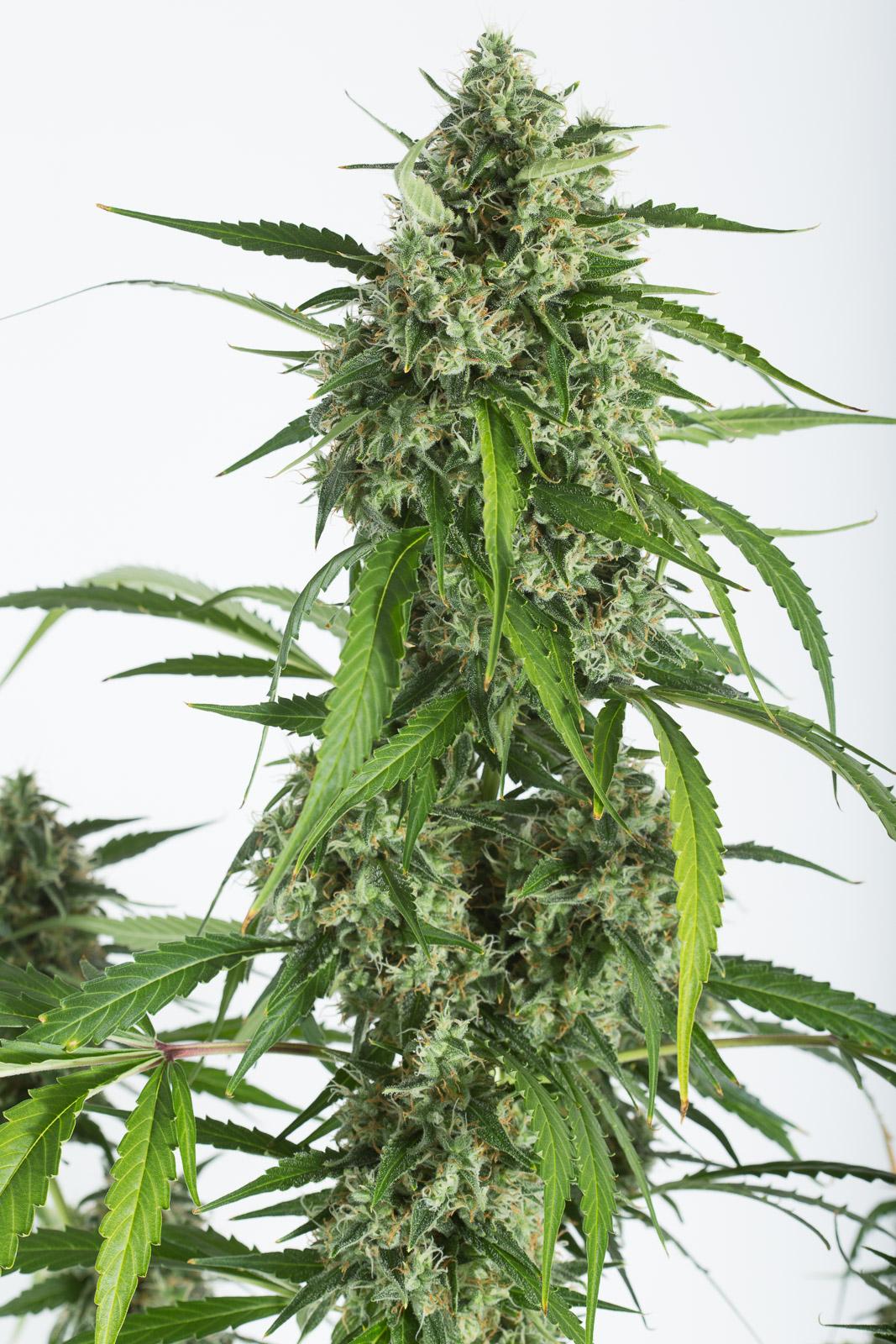White Widow XXL Autoflowering – Buy White Widow XXL Auto cannabis seeds