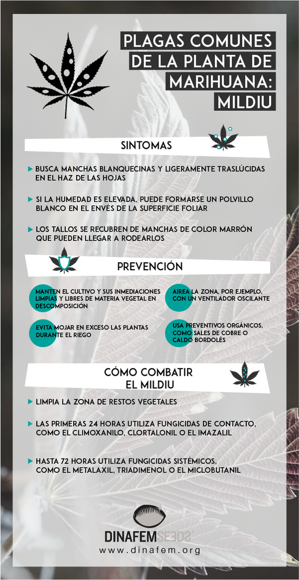 elimination mildiou cannabis
