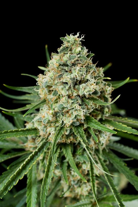 critical 2 0 purchase critical 2 0 feminized cannabis seeds
