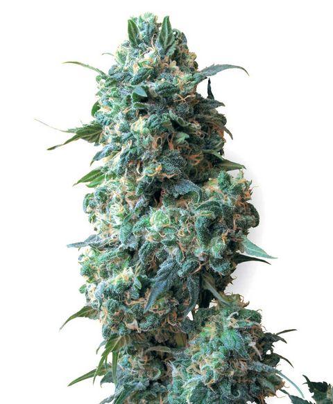 Afghan kush acheter des graines de cannabis white label for Afghan kush exterieur