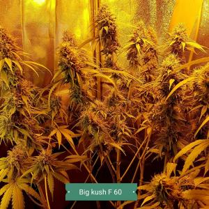 Photo of Big Kush by Iwens