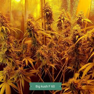 Big Kush-Foto von Iwens