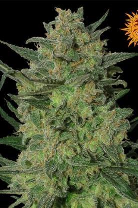 lsd comprar semillas de marihuana barney 39 s farm. Black Bedroom Furniture Sets. Home Design Ideas
