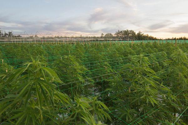 MBTI enneagram type of Cannabis Plantation (Slavery)
