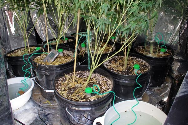 Choose The Best Irrigation System For Your Cannabis