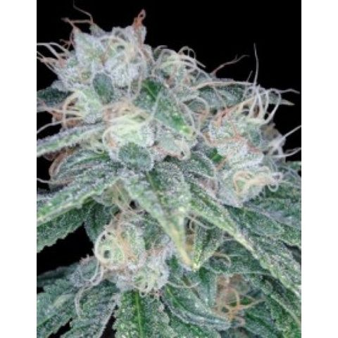 Sour Diesel - Buy Reserva Privada cannabis seeds Sour Diesel Weed Plant