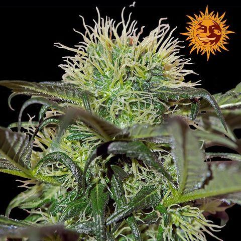 Bad azz kush acheter des graines de cannabis barney 39 s farm for Afghan kush exterieur