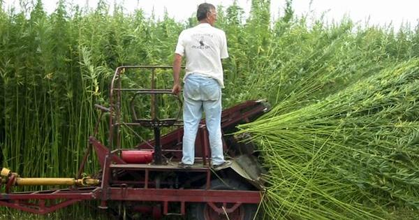 hemp bio oil