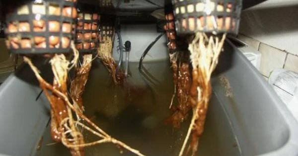 hongos problemas raices