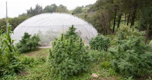 Dinafem S Best Cannabis Seeds For Outdoor Growing