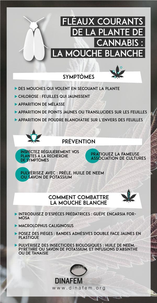 Comment Eliminer La Mouche Blanche De Votre Culture De Cannabis