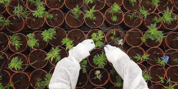 italia legalizar marihuana