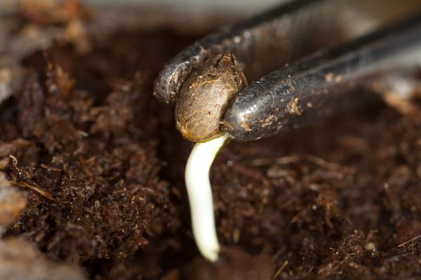 Resultado de imagen de germinar semillas marihuana