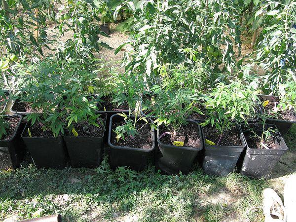 La culture de votre plante en balcon terrasse ou gu rilla for Ou planter du cannabis en exterieur