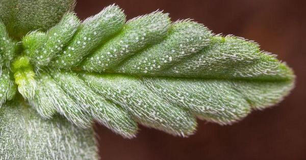 legalizacion marihuana cannabis mujeres indus