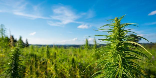 Campo de marihuana