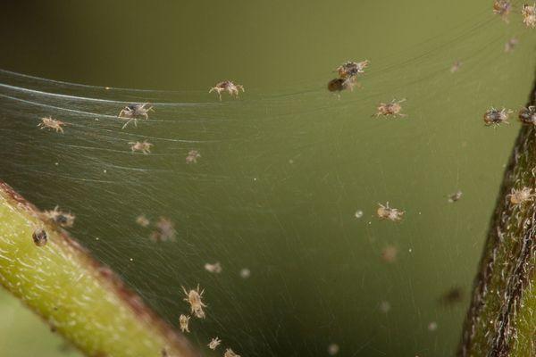 marijuana pests spider grow