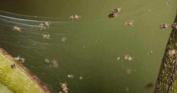 marijuana pests spider grow