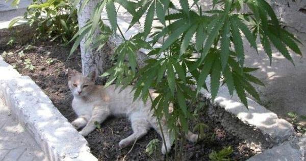 mascotas cultivo cannabis