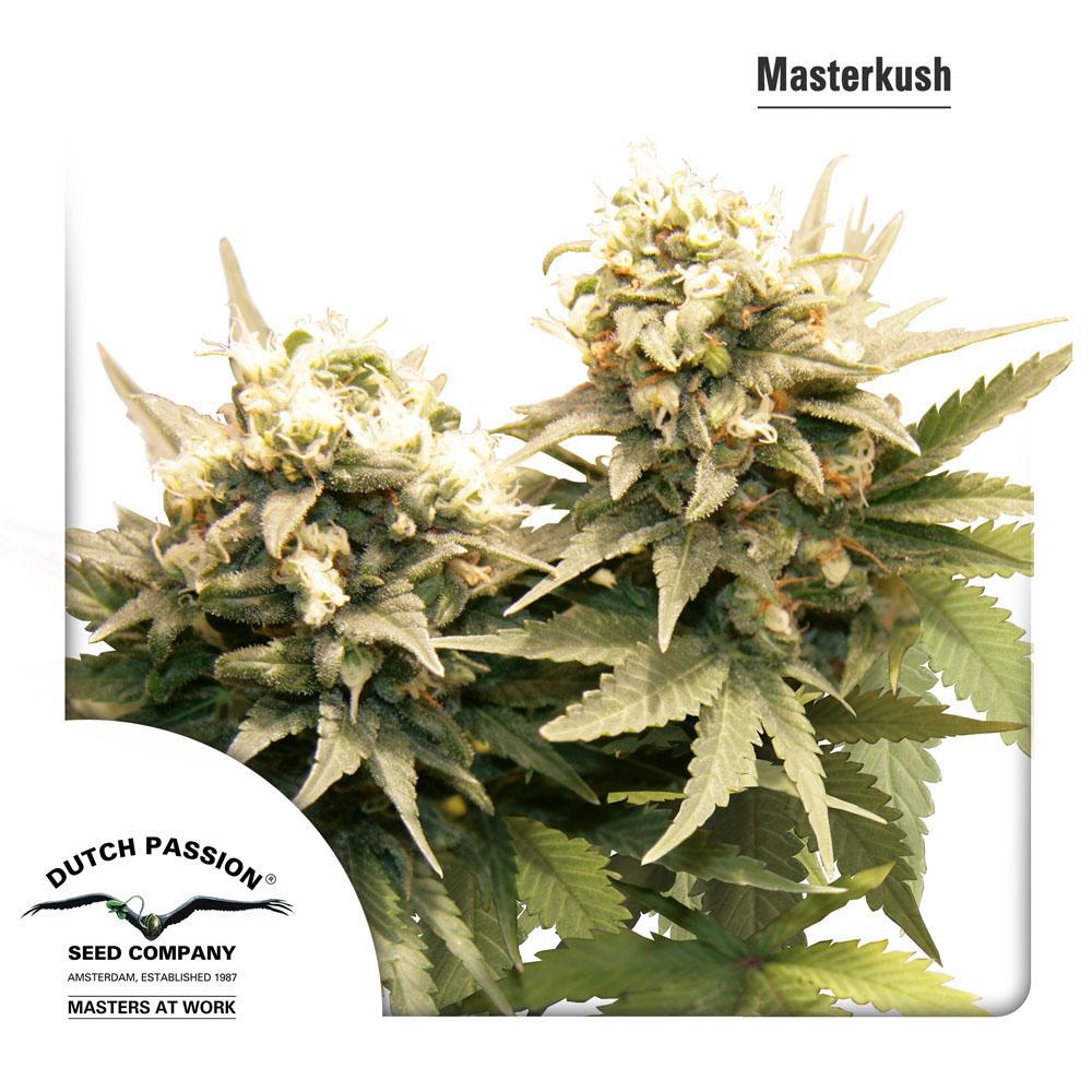 Master kush acheter des graines de cannabis dutch passion for Afghan kush exterieur