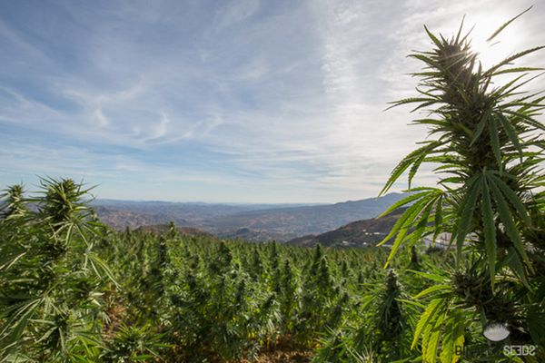 What are the main cannabis Landraces?
