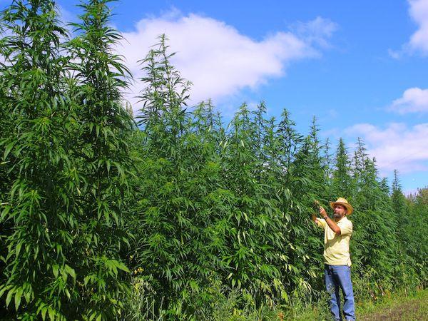 pourcentage thc cannabis chanvre