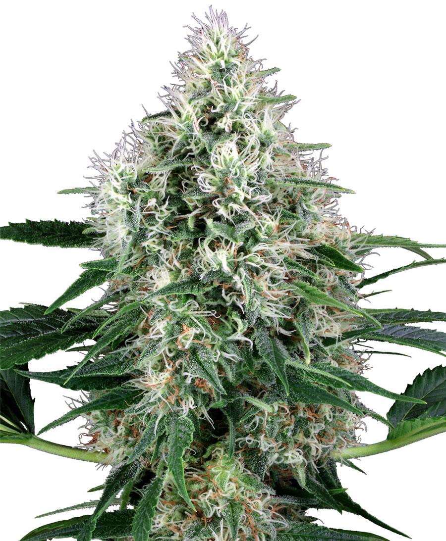 Семена марихуаны автоцветущие как корм куриц конопля для