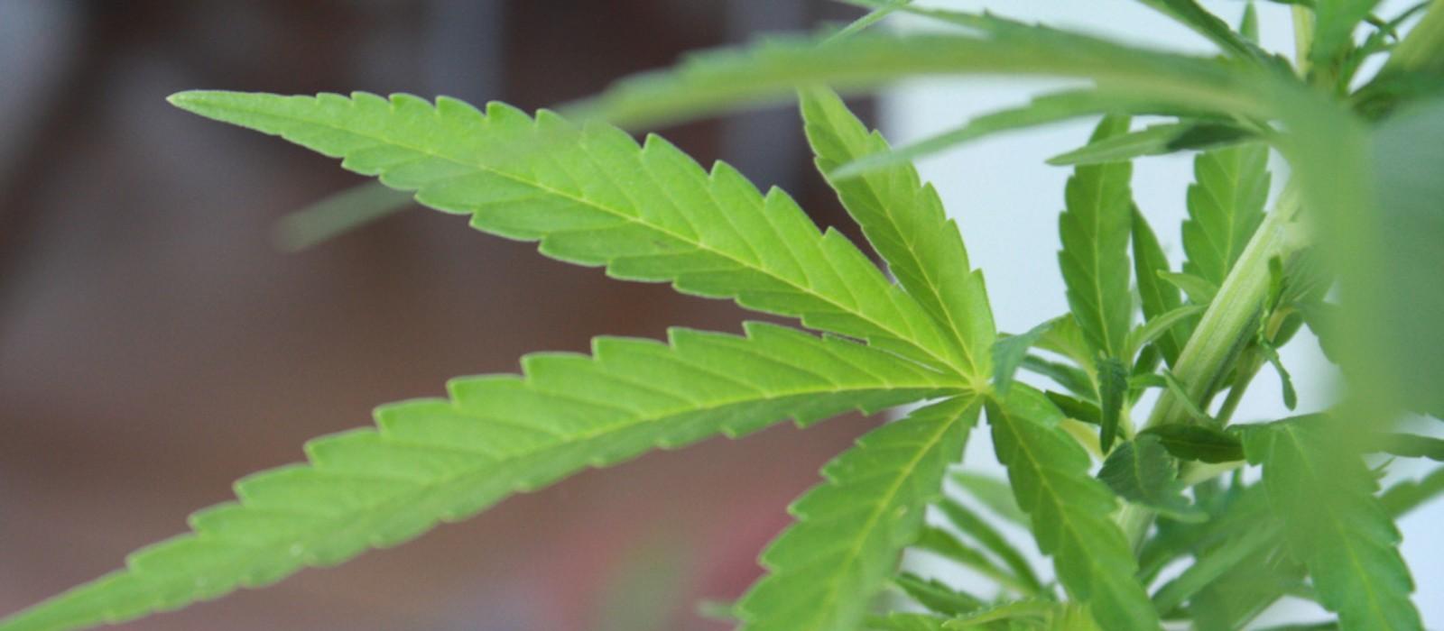 Cannabinoides de la marihuana