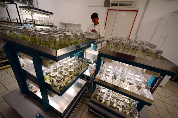 prohibicion plagas arrasan cosechas marihuana
