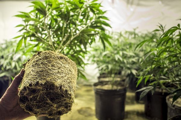 The medicinal benefits of cannabis roots uncovered