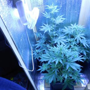 Foto di vernimmen.jordan di Blue Critical Autoflowering