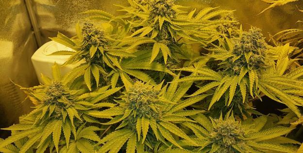 Remo Chemo Indoor Herbalize Interview