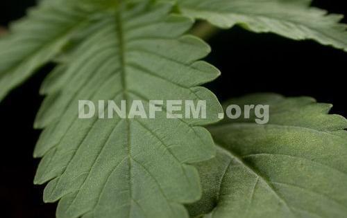 ricette medicinali marijuana