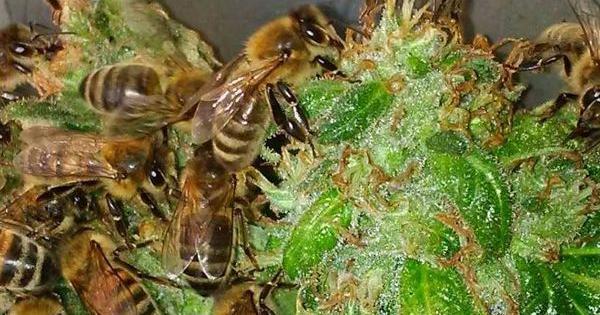 trainerbees beekeeper honey cannabis