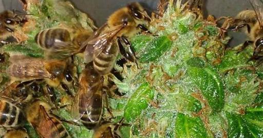 nicolas trainerbees der imker dessen bienen honig aus cannabis harz machen. Black Bedroom Furniture Sets. Home Design Ideas