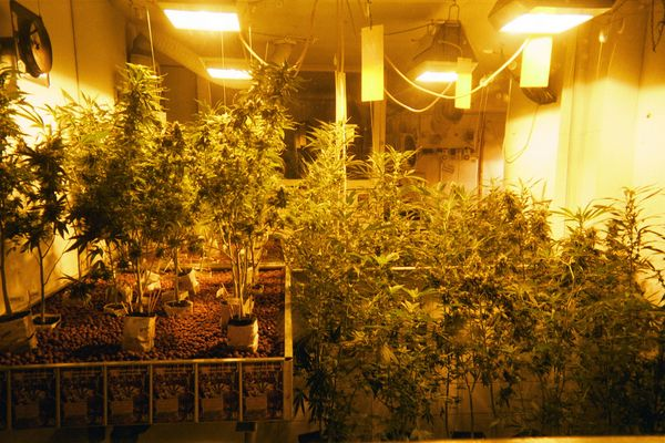 The 10 Best Cannabis Strains For Your Indoor Crops
